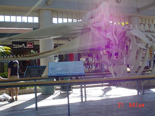whale skeleton display at Whaler's village ...
